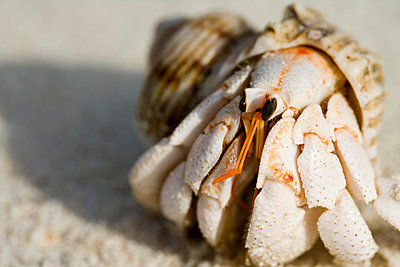 Hermit crab - p4733369f by Stock4B
