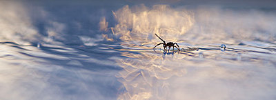 Spider floating on debris in water - p624m1045733f by Odilon Dimier