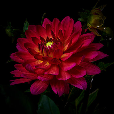 Dahlia blossom in red and purple shades - p587m2115472 by Spitta + Hellwig