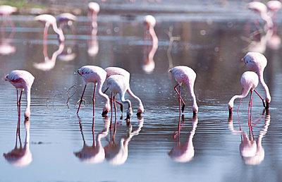 Flamingoes at Lake Nakuru - p533m1003302 by Böhm Monika