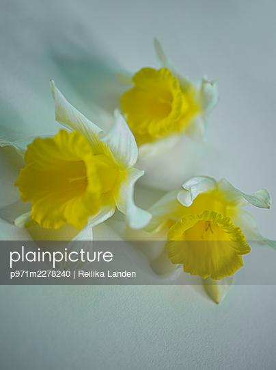 Three daffodils - p971m2278240 by Reilika Landen