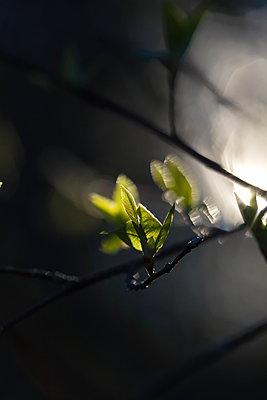 Blattknospen im Frühling - p235m1538351 von KuS