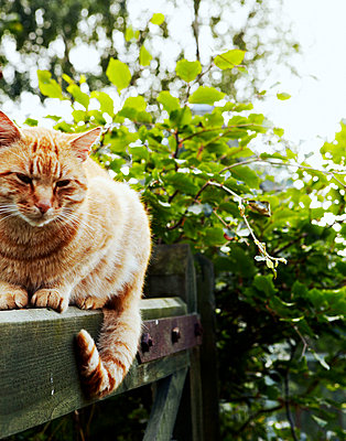 Tabby cat sitting on gate - p349m790018 by Brent Darby