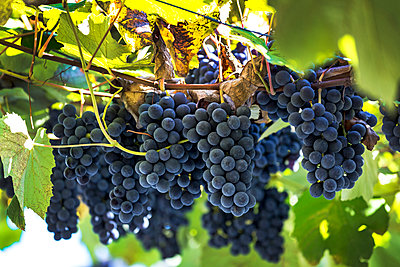 Clusters of purple grapes hanging from the vine; Caldaro, Bolzano, Italy - p442m1580450 by Michael Interisano