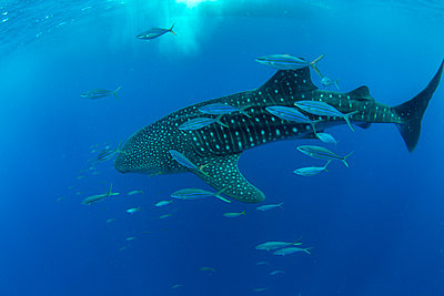 Whale shark (Rhincodon typus) with rainbow runner, Honda Bay, Palawan, The Philippines, Southeast Asia - p871m2122894 by Duncan Murrell