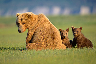 Grizzly Bear mother with two 4 month old cubs sitting in grass together - p884m863056 by Yva Momatiuk & John Eastcott