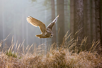 Eurasian Eagle-Owl flying, Czech Republic - p884m1136570 by John Gooday/ NIS
