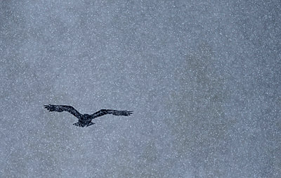 Common Raven  flying during snowfall, Oulu, Finland - p884m1143102 by Winfried Wisniewski