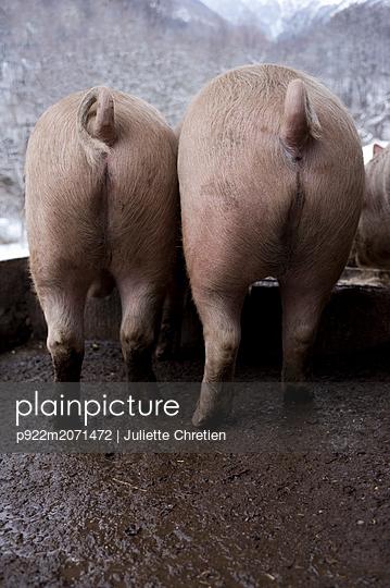 Schweine, Rückansicht - p922m2071472 von Juliette Chretien