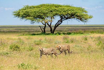 Two cheetahs(Acinonyx jubatus) walking in savannah, Serengeti National Park, NgorongoroDistrict, Tanzania - p1424m2046739 by Cavan Images