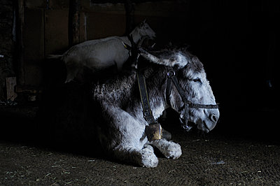 Donkey and goat in the stable - p922m2071541 by Juliette Chretien