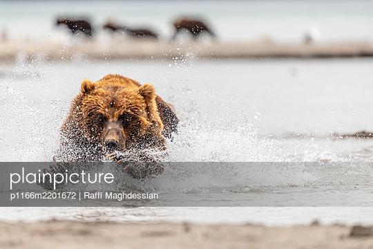Brown bear(Ursusarctos)running through river, KurileLake, Kamchatka Peninsula, Russia - p1166m2201672 by Raffi Maghdessian