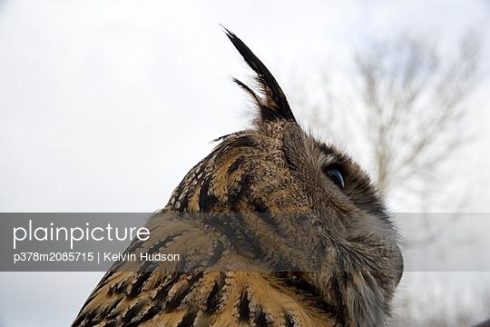 Eagle Owl - p378m2085715 by Kelvin Hudson
