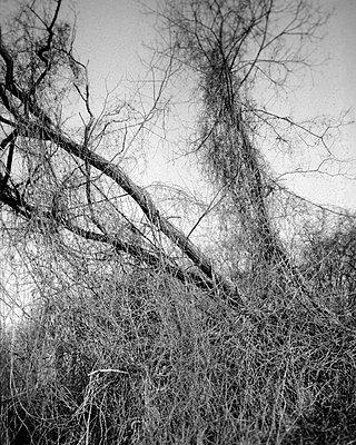 Overgrown tree - p1677m2258955 by nina e. reiter