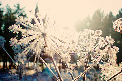 Close up of frozen plants - p555m1412867 by Vladimir Serov