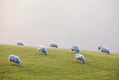 England, West Yorkshire, Calderdale. Sheep grazing on a misty evening. - p651m2006790 by Robert Birkby