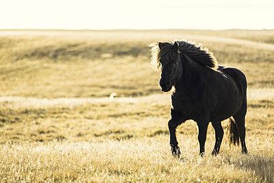 Icelandic horse  - p1084m857928 by Operation XZ
