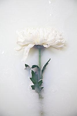 Chrysanthemum stem in milky water - p1248m2281045 by miguel sobreira