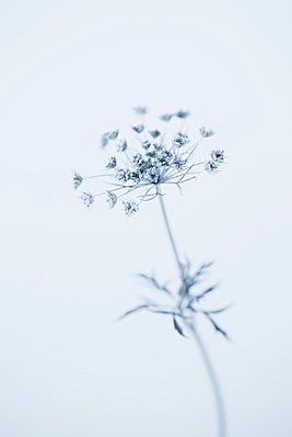 Queen Anne's Lace in Blue - p495m793581 by Jeanene Scott