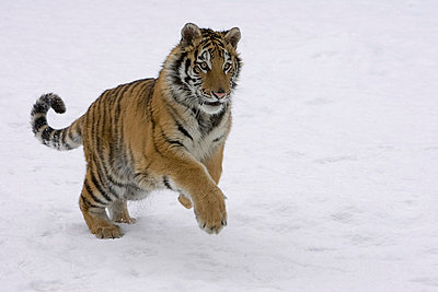 Siberian Tiger leaping in snow - p884m864573 by Matthias Breiter