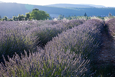 Lavender field in Luberon - p940m1169842 by Bénédite Topuz