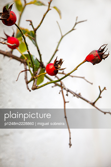 Rose hips  - p1248m2228860 by miguel sobreira