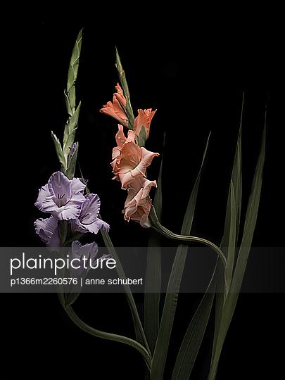 Gladiola in orange and purple shades against black background - p1366m2260576 by anne schubert