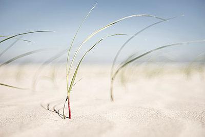 Strandgras am Borkumer Strand - p1162m1475405 von Ralf Wilken
