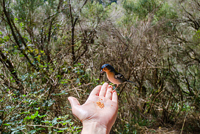 Chaffinch on hand - p1600m2175604 by Ole Spata