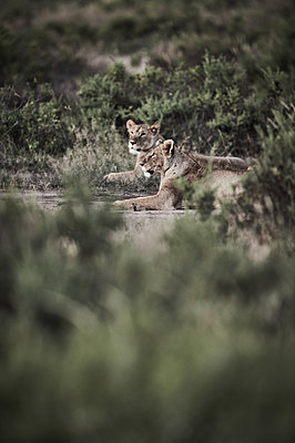 Two lionesses take a rest, Kenya - p706m2158436 by Markus Tollhopf