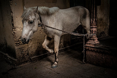 White horse attached at a pillar - p1007m1144318 by Tilby Vattard
