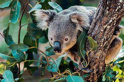 Australia, Queensland, koala perching on tree - p300m2041868 von Gemma Ferrando