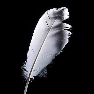White feather - p813m857032 by B.Jaubert