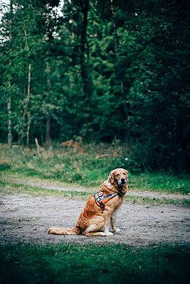 Waiting Golden Retriever - p1076m931819 by TOBSN
