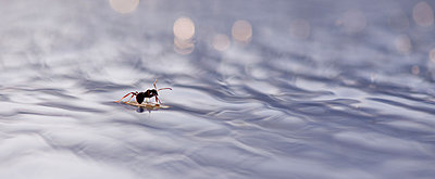 Ant floating on surface of water - p624m1045696f by Odilon Dimier