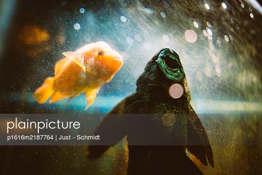Fish in aquarium - p1616m2187764 by Just - Schmidt