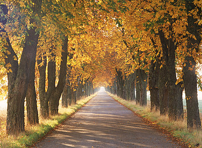 Autumn canopy of colors on tree-lined country road in Sweden - p3484819 by Chad Ehlers
