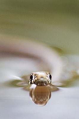 Close-up of a Grass snake, swimming in the water - p1144m943882 by Misja Smits