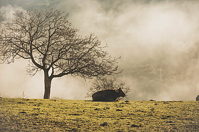 Spain, Cow lying in a meadow - p300m1580736 by Oriol Castelló Arroyo