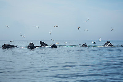 Humpback whales  and a flock of birds on the surface of the water; Massachusetts, United States of America - p442m1033688 by Eric Kulin