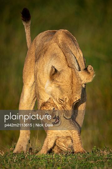 Lioness (Panthera leo) bends to bite cub on neck, Serengeti National Park; Tanzania - p442m2113615 by Nick Dale