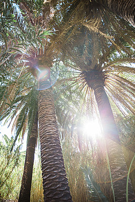 Palm trees against the light - p1253m2125812 by Joseph Fox