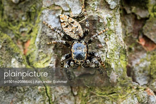 Springspinne - p1501m2086644 von Alexander Sommer