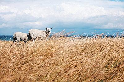 Schafe - p1006m1441801 von Danel