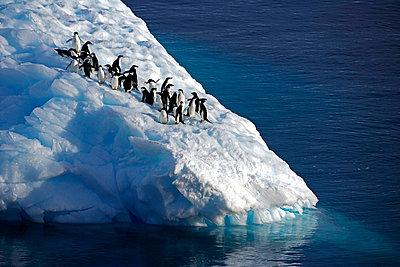 Adelie penguin - p6520037 by Mark Hannaford
