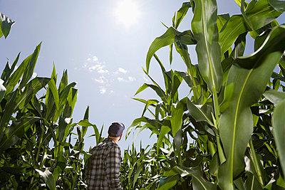 Farmer amongst crop - p4298196 by Hugh Whitaker