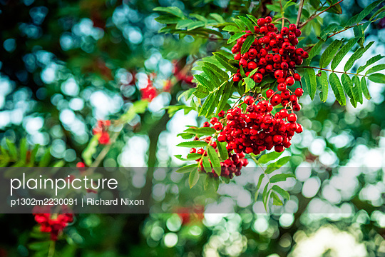 Red berries on a Wild Mountain Ash or Wild Rowan tree in autumn - p1302m2230091 by Richard Nixon