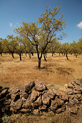 Almond tree - p1028m893645 by Jean Marmeisse