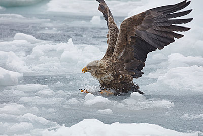 White-Tailed Eagle, Haliaeetus albicilla, hunting on frozen bay in winter. - p1100m1520169 by Mint Images