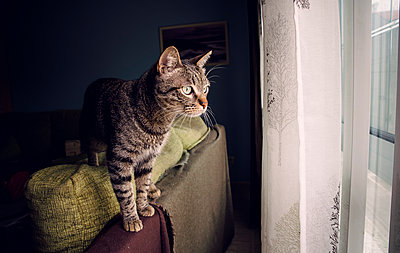 Tabby cat standing on backrest of couch looking through window - p300m1047851f by Ramon Espelt